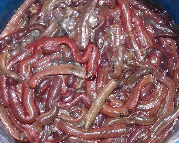 Umpun-umpun atau perumpun menjadi pilihan pemancing air masin dan payau